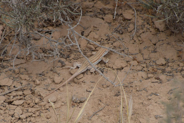 Acanthodactylus bokianus