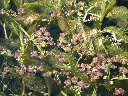 Spirodela polyrhiza - Veelwortelig kroos