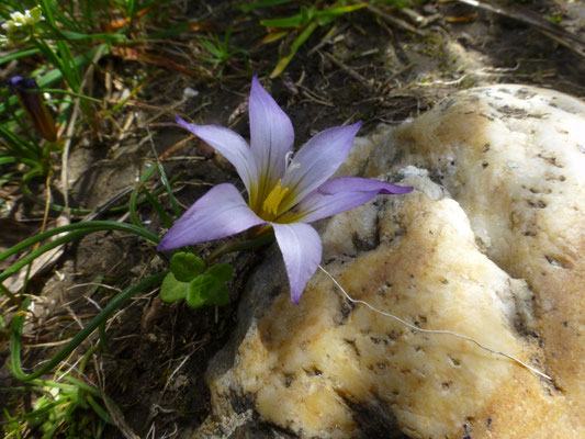Romulea bulbocodium