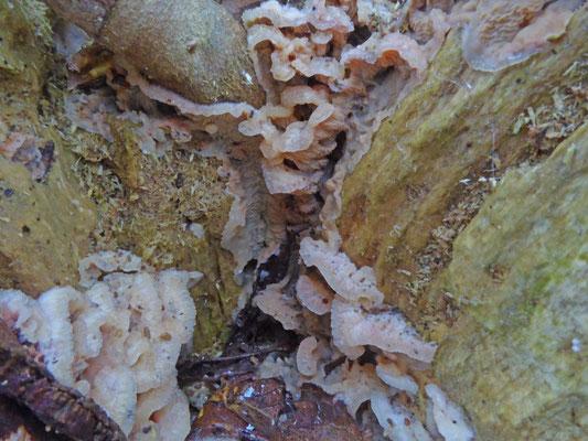 Merulius tremellosus - Spekzwoerdzwam
