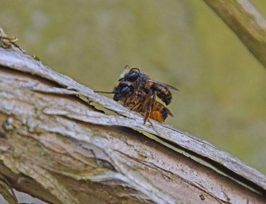Osmia bicornis - Rosse metselbij