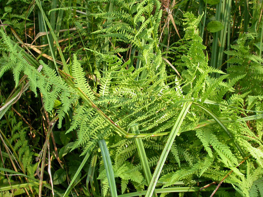 Thelypteris palustris - Moerasvaren