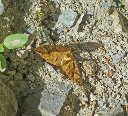 Eulithis populata  -Gewone agaatspanner