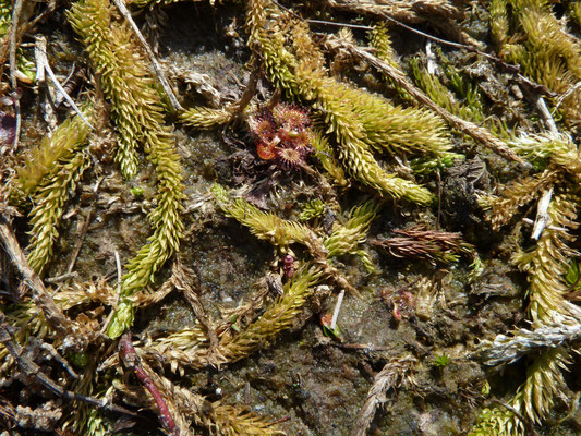 Lycopodiella inundata - Moeraswolfsklauw