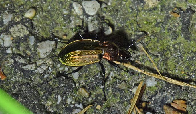 Carabus arcensis - Heideschallebijter