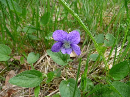 Viola hirta - Ruig viooltje