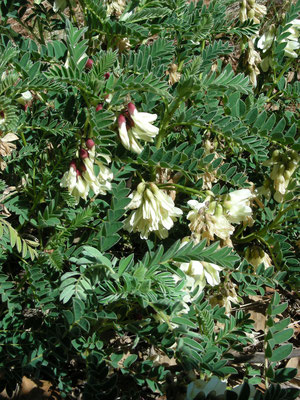 Astragalus lusitanicus