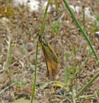 Libelloides ictericus