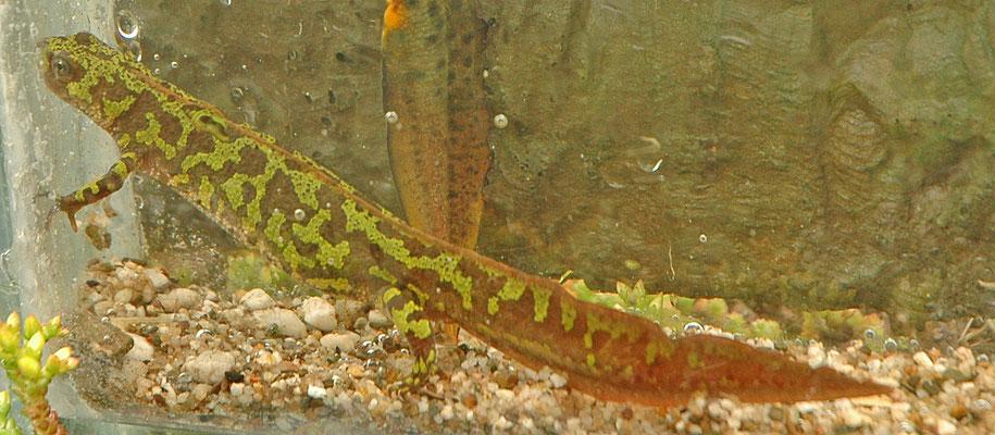Triturus marmoratus - Marmersalamander