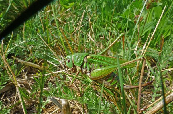Decticus verrucivorus - Wrattenbijter