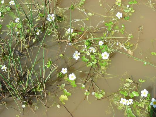 Ranunculus baudotii - Zilte waterranonkel