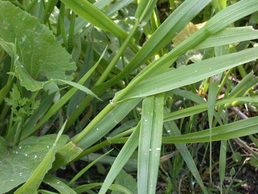 Festuca gigantea - Reuzenzwenkgras