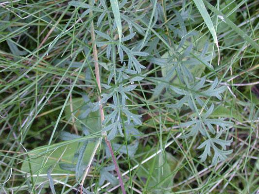 Pimpinella saxifraga - Kleine bevernel