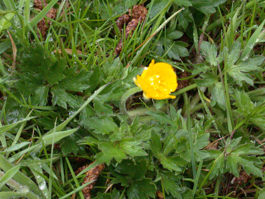 Ranunculus repens - Kruipende boterbloem