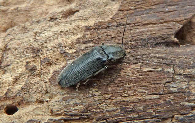 Cardiophorus asellus
