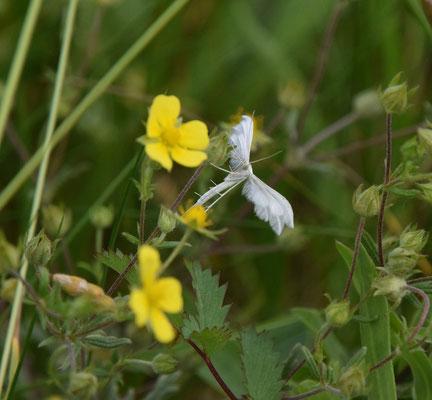 witte pluimvlinder