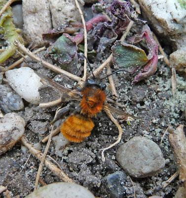 Andrena fulva - Vosje