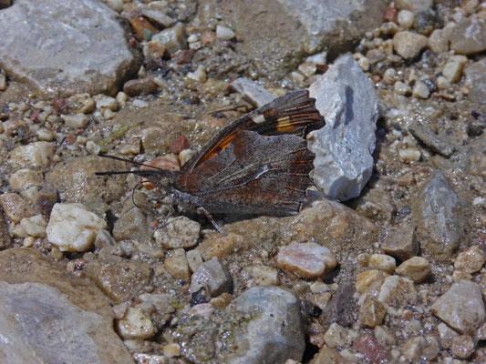 Libythea celtis - Snuitvlinder