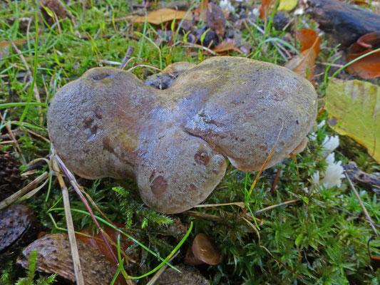 Lactarius fluens - Beukenmelkzwam