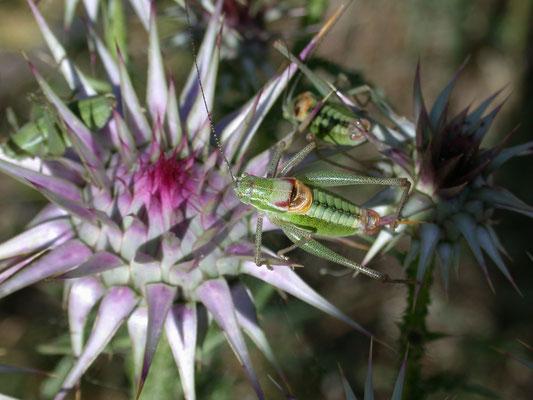 Leptophyes laticauda