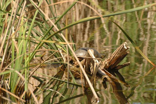 Emys orbicularis (Europese moerasschildpad)