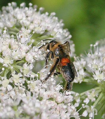 Andrena rosae - Roodrandzandbij