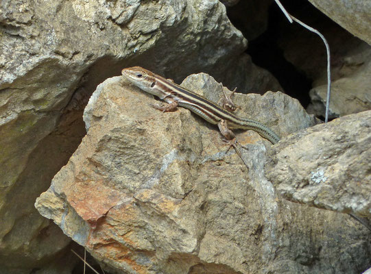 Podarcis peloponnesiacus - Peloponnesoshagedis
