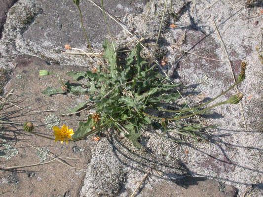Leontodon saxatilis - Kleine leeuwetand