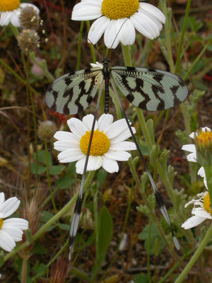 Nemoptera sinuata (vlinderhaft)