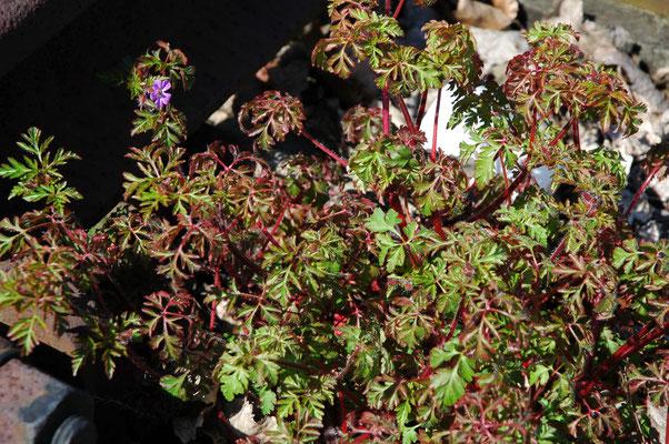 Geranium robertianum - Robertskruid