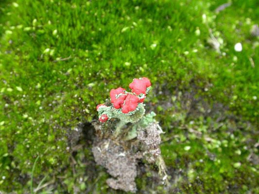 Cladonia floerkeana- Rode heidelucifer
