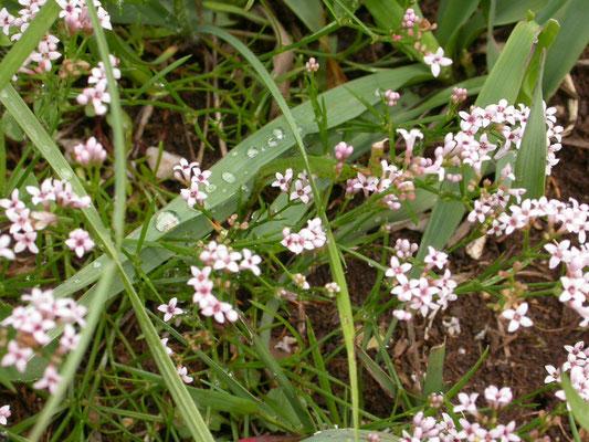 Asperula cynanchica - Kalkbedstro