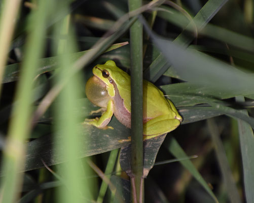 Lemon-yellow Tree Frog (Hyla savignyia)