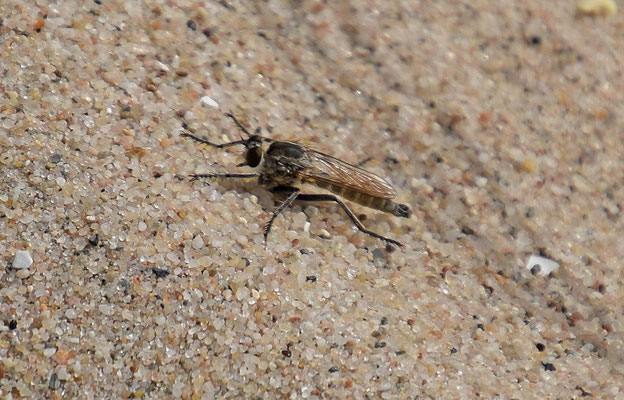 Philonicus albiceps - Zandroofvlieg