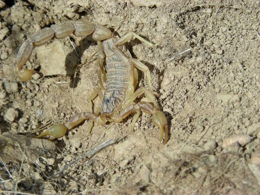Buthus ibericus/montanus