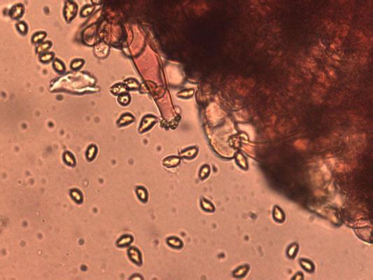 Inocybe cincinnata var major - Violetbruine vezelkop