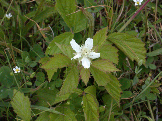 Rubus caesius - Dauwbraam