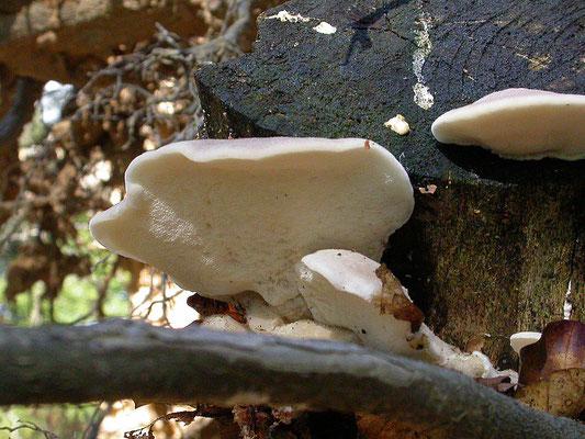 Spongiporus tephroleucus - Asgrauwe kaaszwam
