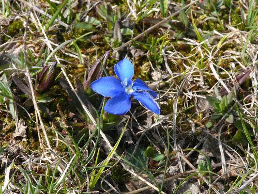 voorjaarsgentiaan (Gentiana verna)