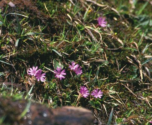 Primula integrefolia - Gaafbladige sleutelbloem