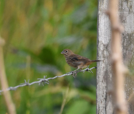 Wing-barred Seedeater, female