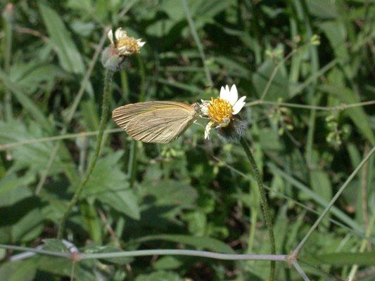 Eurema brigitta