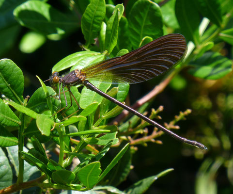 Calopteryx haemorrhoidales