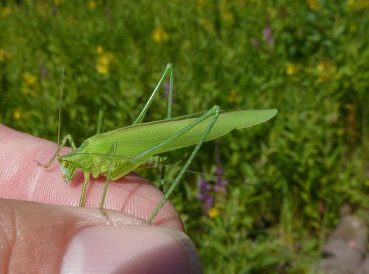 Phaneroptera falcata - Sikkelsprinkhaan