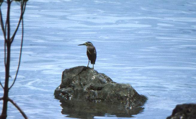 Striaten Heron