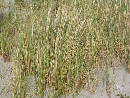 Ammophila arenaria - Helm