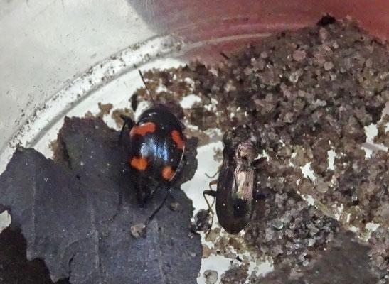 Gevlekte schimmelkever met Bospiegelloopkever
