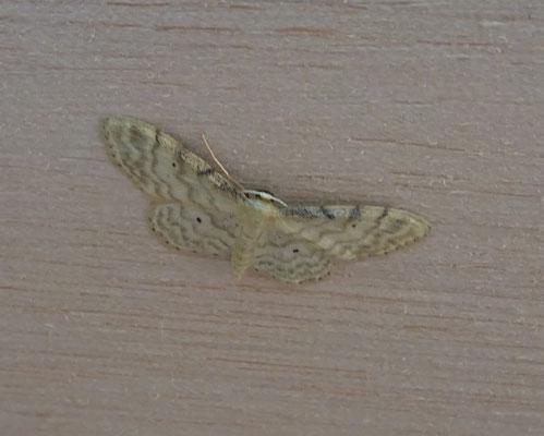 Idaea fuscovenosa - Dwergstipspanner