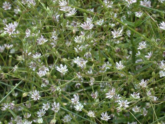 Stellaria palustris - Zeegroene muur