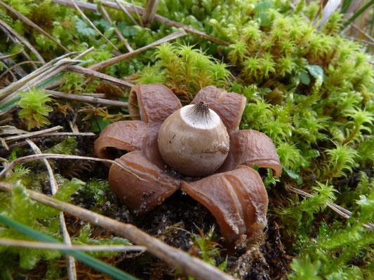 Geastrum saccatum-Viltige aardster